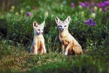 More facts about foxes