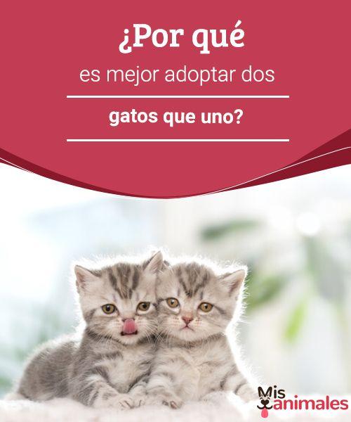 ¿Por qué es mejor adoptar dos gatos que uno?  Siempre que tu economía te lo permita, es mejor adoptar dos gatos que uno. Seguro no te arrepentirás. Te contamos por qué. #adoptar #gatos #razón #consejos
