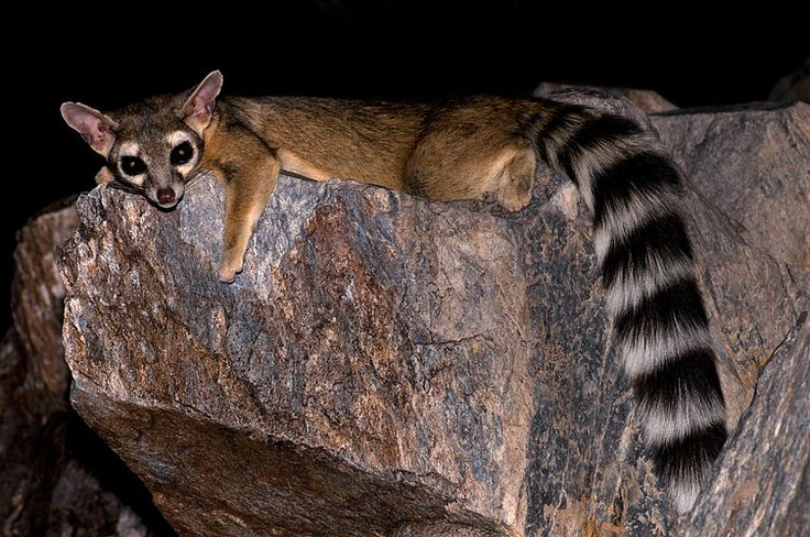 Ring-tailed cat - Wikipedia, the free encyclopedia