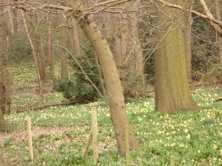 Wild Daffodills Lesnes Abbey Woods