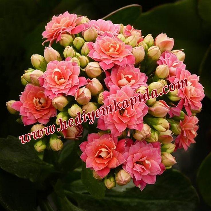 119 best images about calandiva on pinterest flower close up fotografia and garden images. Black Bedroom Furniture Sets. Home Design Ideas