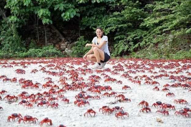 En la Isla de Navidad, Australia, los cangrejos rojos migran en grupo de la selva al océano para reproducirse, durante la primavera.
