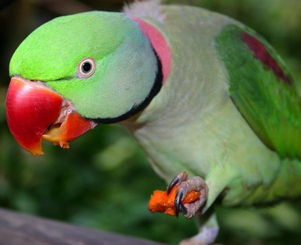 Mister is an Alexandrine Parrot