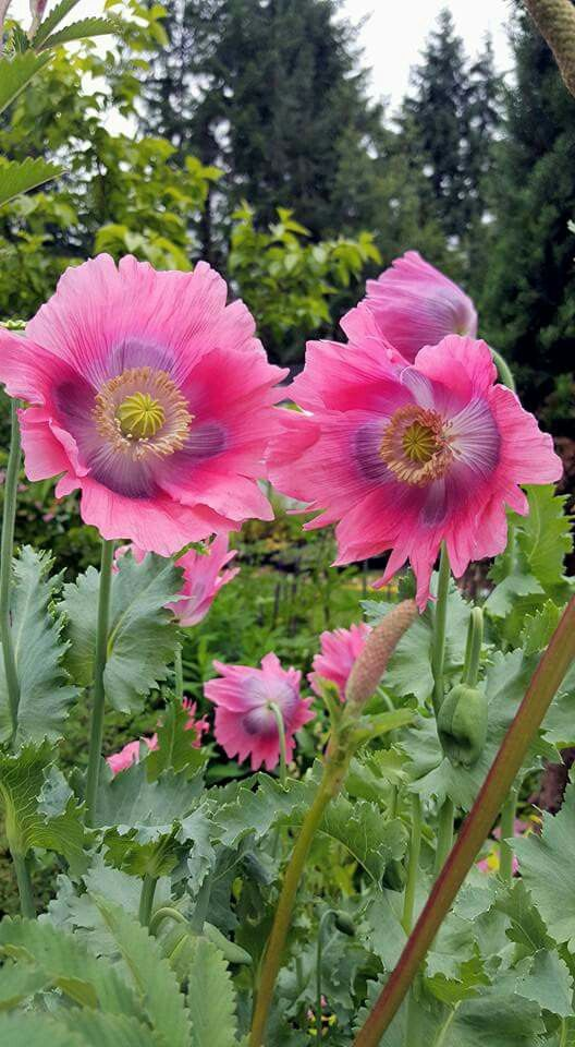 Beautiful poppies, variety unknown.
