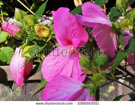 Cluster Of Pink Elephant Hibiscus Blooming In The Garden Along The