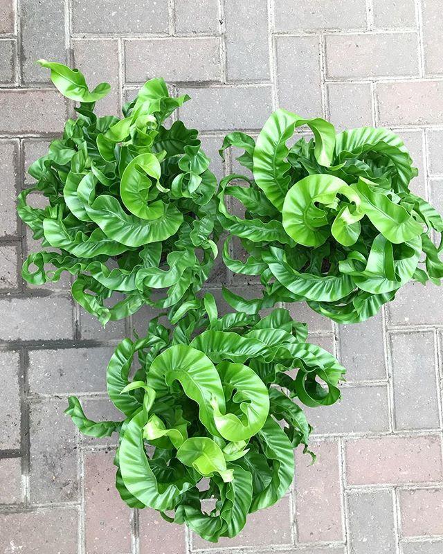 asplenium hurricane fern Plants