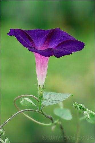 Morning Glory - makes me think of my mother. She had these growing along the steps up to her house. :)