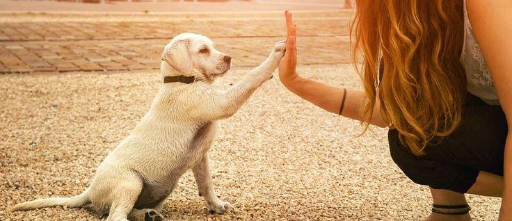Wat kun je doen om een bijtincident te voorkomen? Door het leren van de lichaamstaal van de hond, het opvoeden van de hond, het kind en de baas!