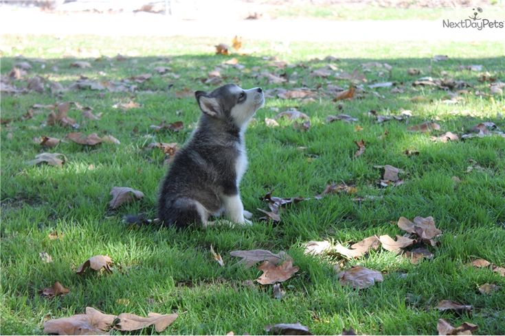 Alaskan Malamute puppy for sale near Springfield, Missouri | 16166bfd-afb1