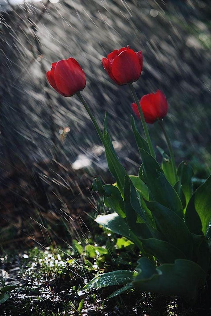вас тюльпаны после дождя фото высокого разрешения выполнении синхронизации убедитесь