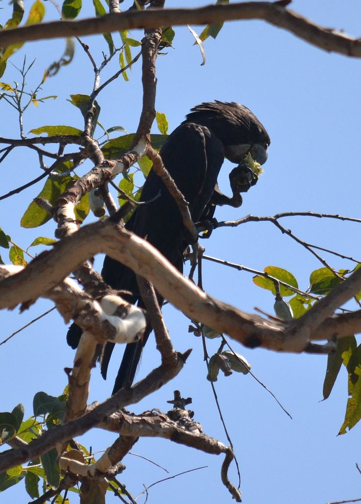 """A male Red-tailed Black-Cockatoo """"macrorhynchus"""" feeding on a fruit."""