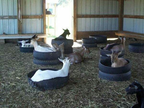 Goat beds