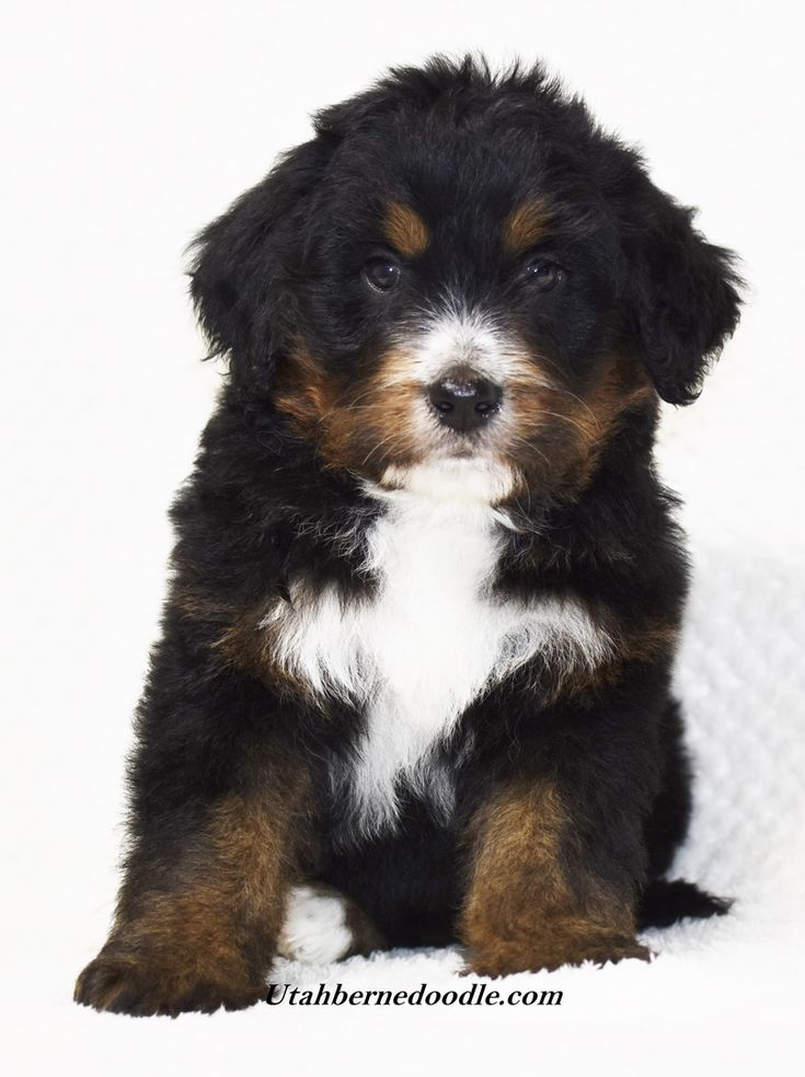 Tri Color Mini And Standard Bernedoodles Puppy Mix