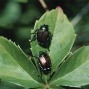 How to Make a Trap to Kill Japanese Beetles | eHow