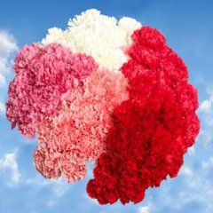 200 Carnations Mother's Day Carnation Flowers Wholesale | flowersnhoney | fresh flowers and the best honey