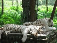 Image result for tiger Bandhavgarh National Park