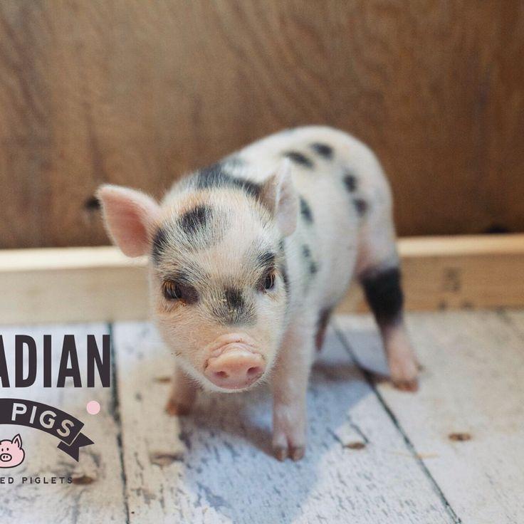 www.canadianminipigs.ca Juliana piglet