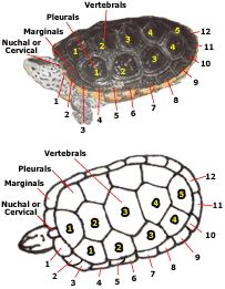 Scutes on the carapace of a turtle