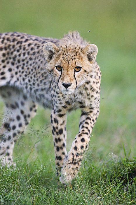Masai Mara Cria de chita Cartão
