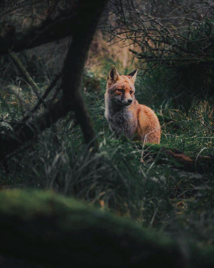 ~ Thoughtful fox cub - Finland  #Regram via @kpunkka