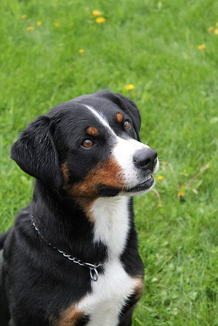 This is a Appenzeller Sennendog. He looks like my dog and these dogs are really sweet and always protect you