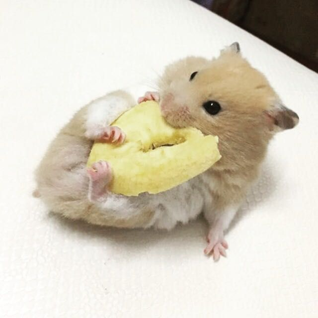 I Am Good I Know Very Good Cute Funny Animals Cute Hamsters Funny Hamsters