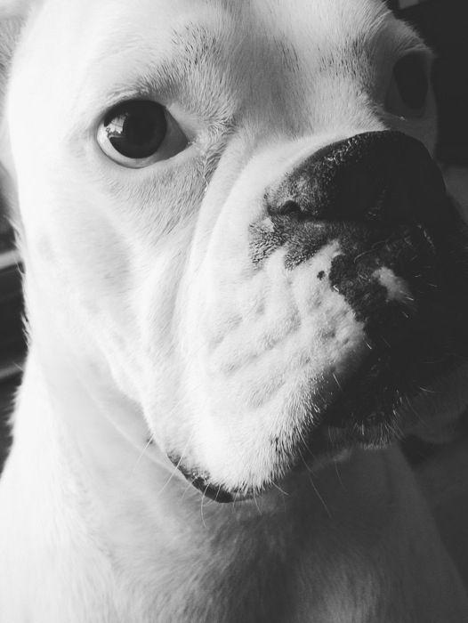 Homer chappelle Boxer dog