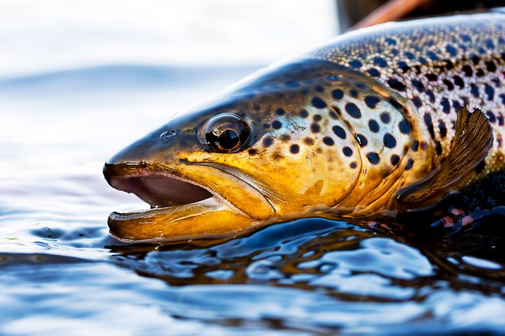 focalFISH | daily fly fishing images