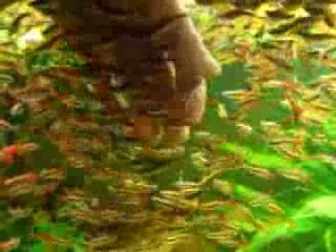 17 Best Images About White Cloud Mountain Minnow From Florida Pond Management On Pinterest