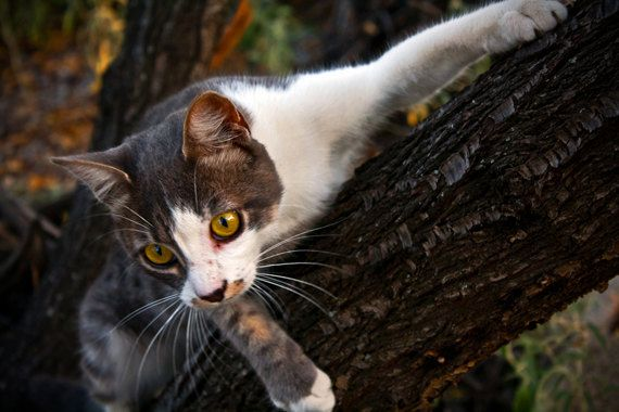Tamed Yet Wild, Cat in Farm, Nature, Close Up  8x12 (20X30cm), Photography Print