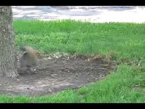 Funny Crazy Squirrel Video