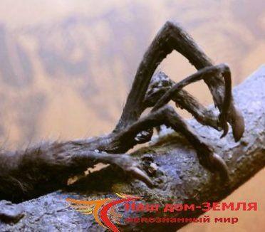 Айе-айе - мадагаскарская руконожка