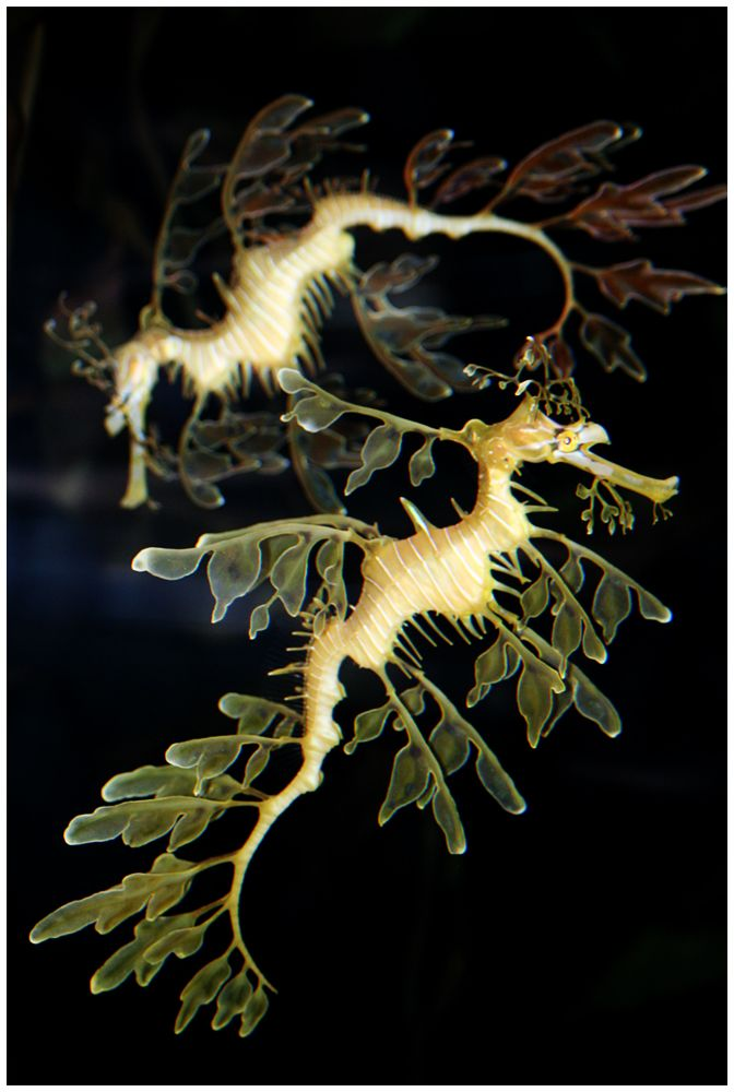 sea horses by `devilicious on deviantART