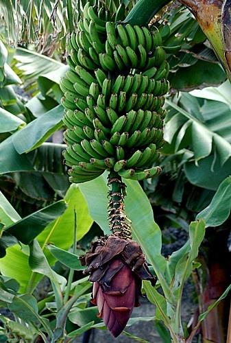 Bananen mit Blume, Tenerife