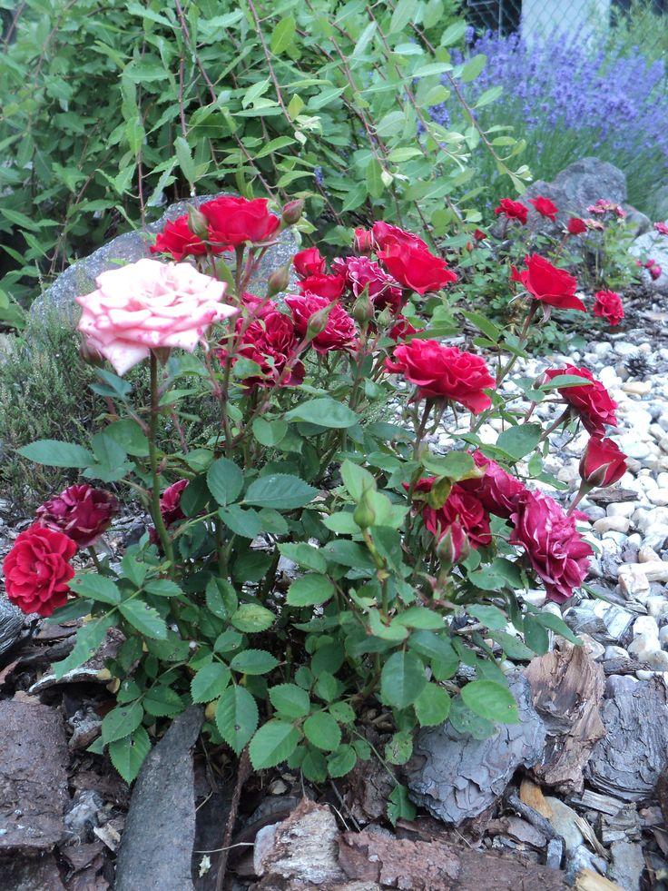 Mini růžičky - červenec 2016