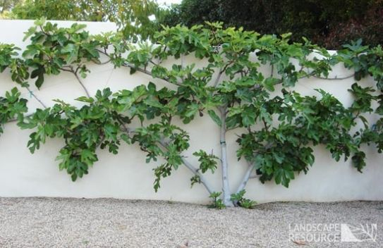 Espalier Fig Tree:  maybe a better choice for a fruit tree, as it does prefer some shade.