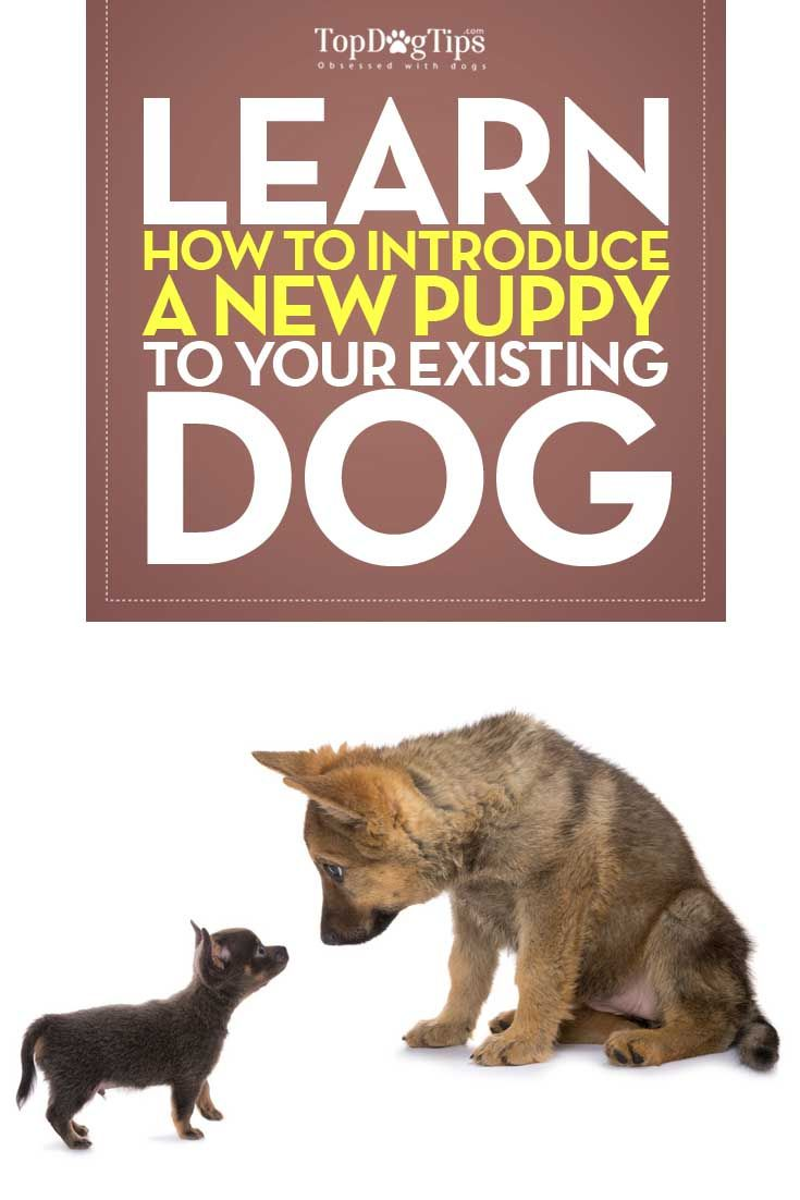 How To Introduce Your Puppy To An Existing Dog: A Step-By-Step Video Guide - Top Dog Tips