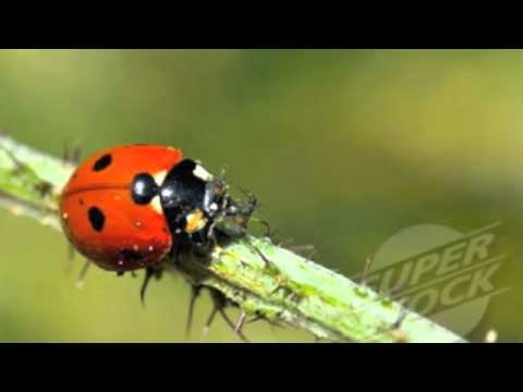 Life Cycle of a Ladybug Video