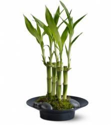 Bambu Da Sorte (dracaena Sandneriana) - Kit Com 3 Mudas   R$25,00