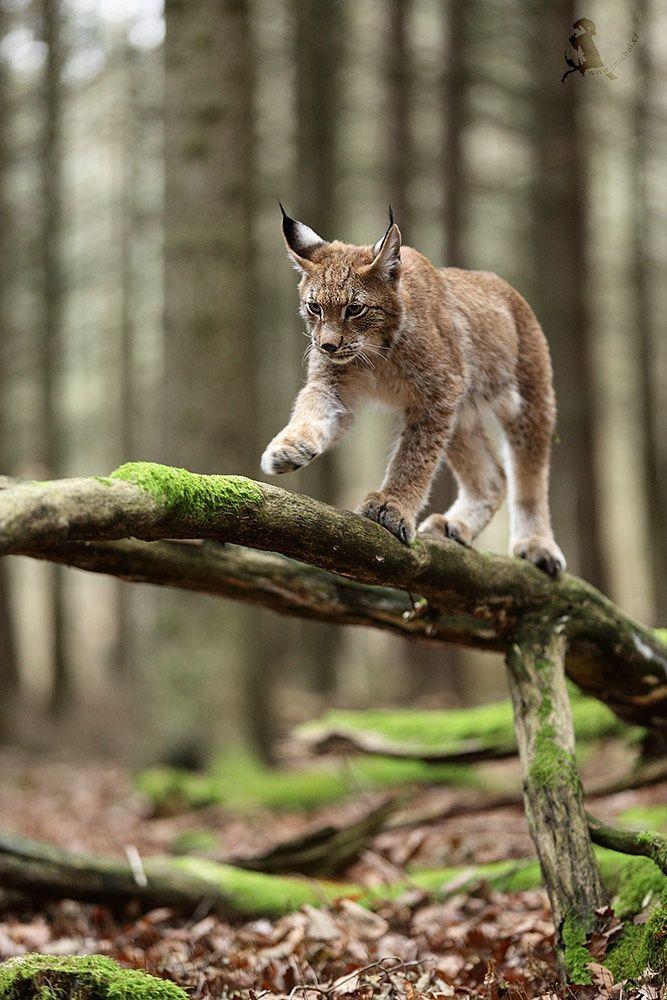Photo Lynx par Jiří Míchal on 500px Animals, Animals