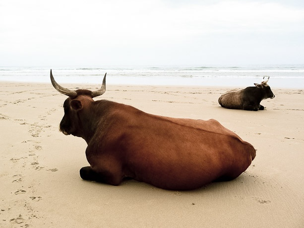Transkei - South Africa.  ALways so funny when you go to the Transkei to see cattle just chilllin on the beach.
