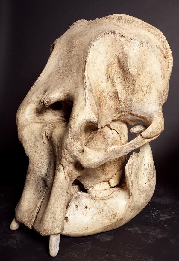 asian elephant skull 1 1500.jpg