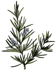Rosemary (Rosmarinus officinalis) | Garden Guides