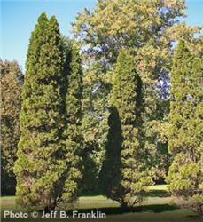 "Emerald Arborvitae Thuja occidentalis ""Emerald"""