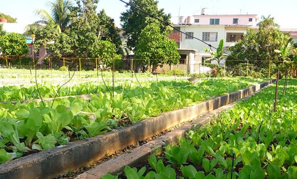 Because of limited land in urban areas, and to increase productivity, crops are planted close together.