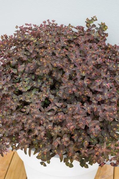 Euphorbia Cherokee