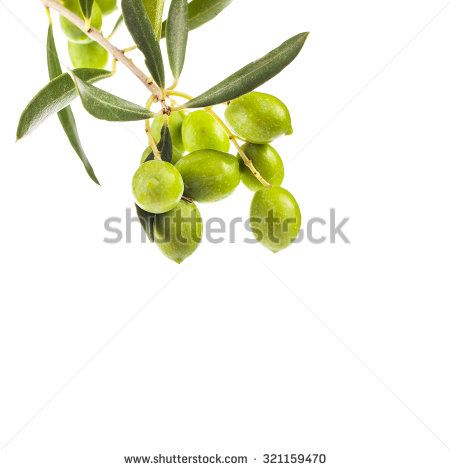 green olives in olive tree branch   isolated on a white background