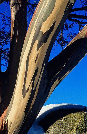 Snowgum bark detail, Falls Creek Victoria by Speedy