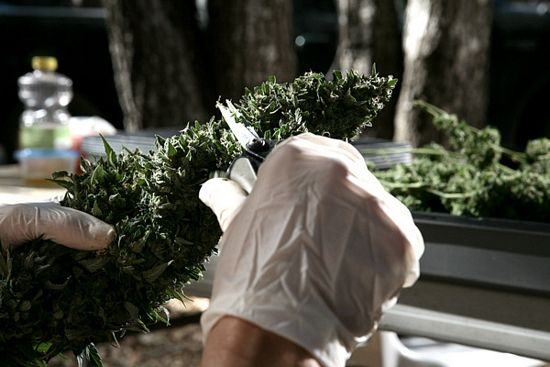 How to Harvest Cannabis Plants | Harvesting cannabis plants is actually a fairly complex process with several steps, and there are almost as many techniques as there are growers. I will briefly explain each step in the harvesting process, and give examples of some of the different techniques that can be used.