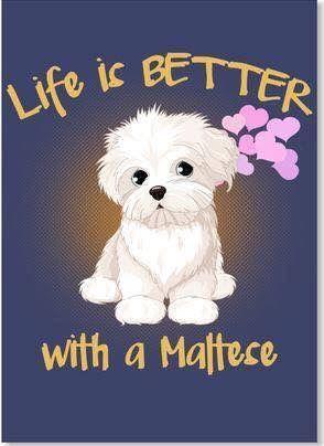 Life is better with a Maltese Toda la información y productos especializados para el la raza perro maltés